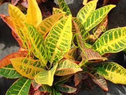 Croton norma petra