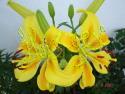 Lilium groc