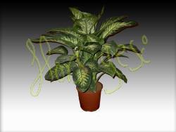 Dieffenbachia tropic m.17