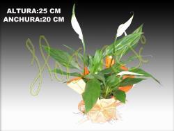 Spathiphyllum m.9